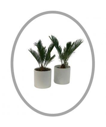 Cycad Planter