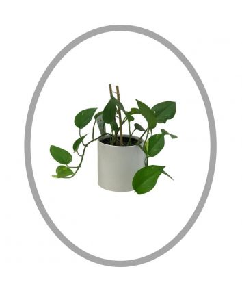 Devil's Ivy Planter