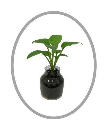 Hosta Terraium Indoor Planter